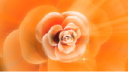 Royalty Free Video of a Rotating Rose