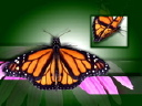 Royalty Free Video of Butterflies