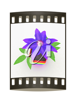 Clematis a beautiful flower in the colorful pot. The film strip