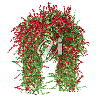 Bush with flowers on a white background. Curly ivy with red flowers pergola