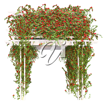 Pergola overgrown with red roses with green leaves on a white background pergola